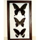 Живые бабочки в рамке